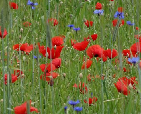 poppy-139762_640